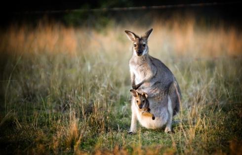 kangaroojoey