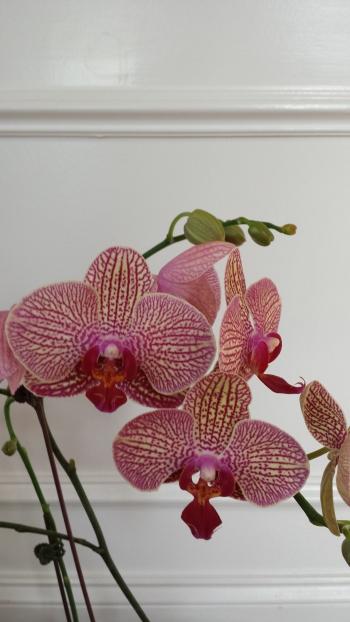 floweringorchid