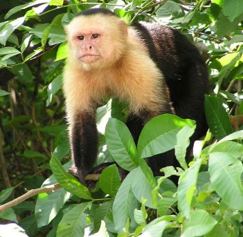 Capuchin. (Credit: David M. Jensen)